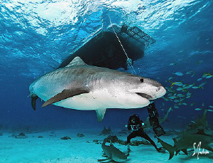   Emma Tiger Shark makes her presence known Beach Bahamas. She very much pregnant. Bahamas pregnant  